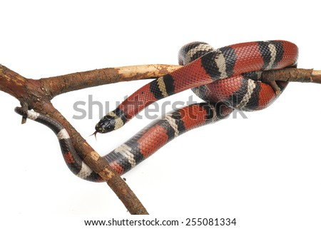Scarlet kingsnake Lampropeltis triangulum isolated on white. - stock photo