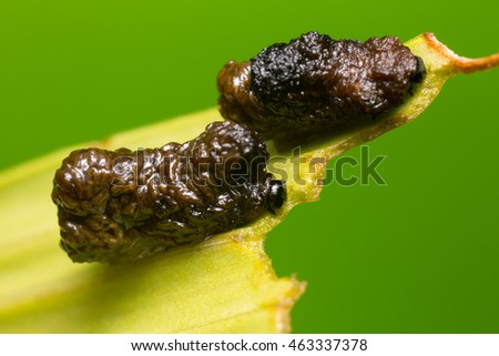 Scarlet lily beetle larva covered in excrement feeding on lily leaf
