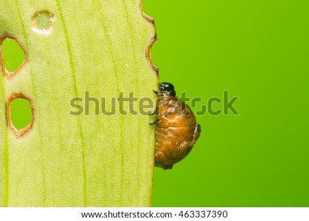 Scarlet lily beetle larva, lilioceris lilii covered in excrement feeding on lily leaf