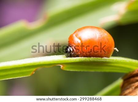 Scarlet lily beetle larva, Lilioceris lilii on damaged leaf - stock photo
