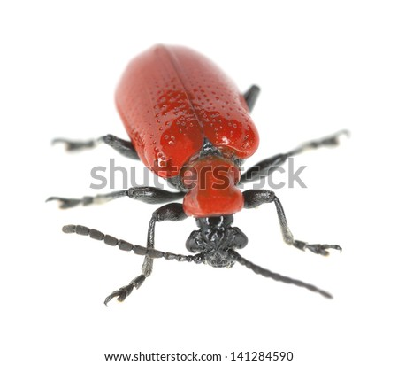Scarlet lily beetle, Lilioceris lilii isolated on white background  - stock photo