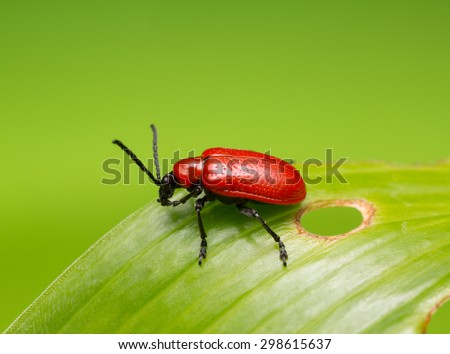 Scarlet lily beetle, Lilioceris lilii on damaged leaf