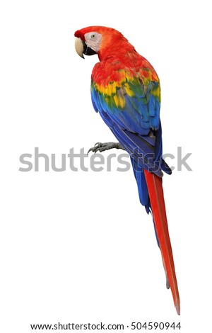 Scarlet macaw (Ara macao) a large, red, yellow and blue parrot bird showing its back feathers profile isolated on white background, fascinated bird