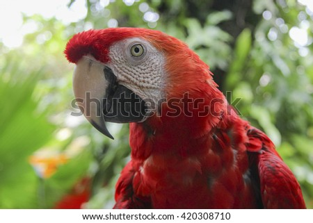 Scarlet macaw (Ara macao)  Portrait of red big talking parrot with a beak on the nature Talking bird in the park. head of a parrot, a large beak. Ara looks at the viewer.