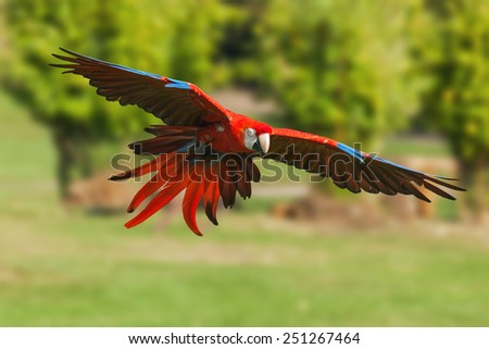 Scarlet macaw coming in to land. A beautiful scarlet macaw zooms in on its chosen perch. - stock photo