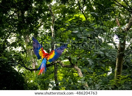 Scarlet Macaw Flying - Copan Archaeological Site, Honduras
