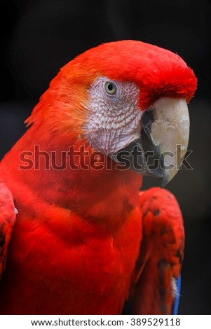 Scarlet macaw macaw close up head shot - stock photo