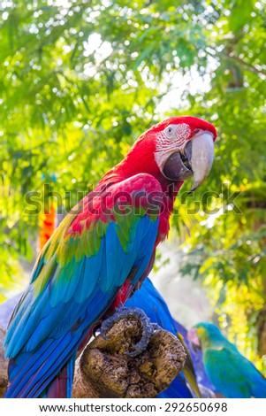 Scarlet macaw on timber in zoo.