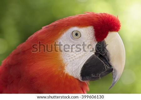 Scarlet macaw outdoors portrait beautiful green bokeh - stock photo