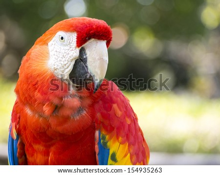 Scarlet Macaw parrot photographed upclose