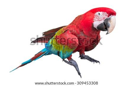 Scarlet macaws (Ara macao) on white background - stock photo