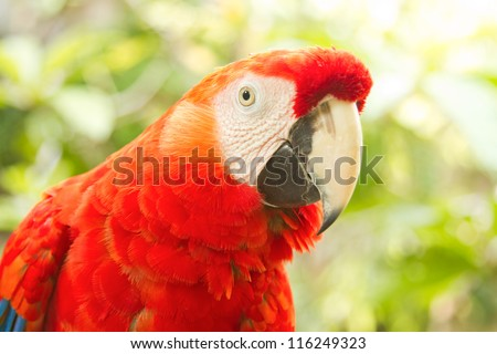 Scarlet macaws in nature
