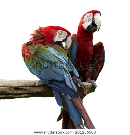 scarlet macaws on the tree Isolate on white with Paths