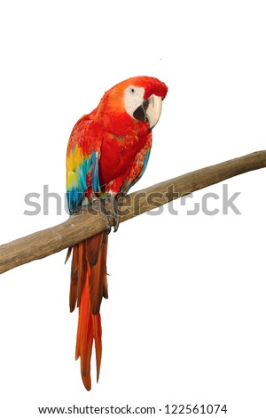 Scarlet macaws on white background - stock photo