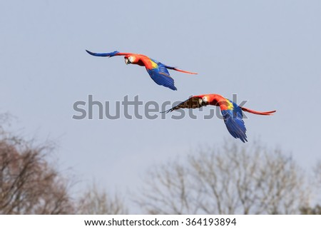 Scarlet macaws over the trees. A lovely pair of scarlet macaws show off their bright colours as they fly over some woodland. - stock photo