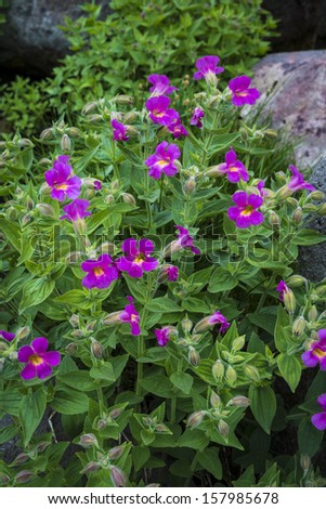 Scarlet monkey flowers blooming among rocks in high mountain environment - stock photo