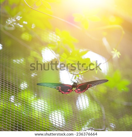 Scarlet mormon butterfly ( papilio rumanzovia ) resting on a twine in the evening sun - stock photo