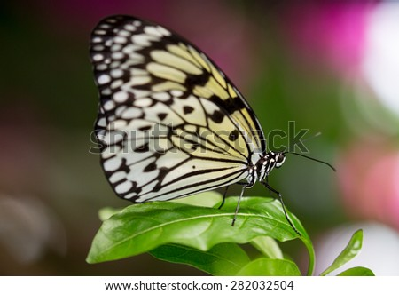 Scarlet Mormon Butterfly with beautiful wings  - stock photo
