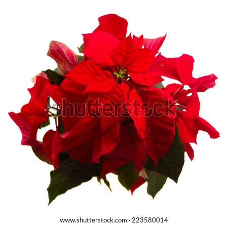 scarlet poinsettia flower or christmas star isolated on a white background  - stock photo