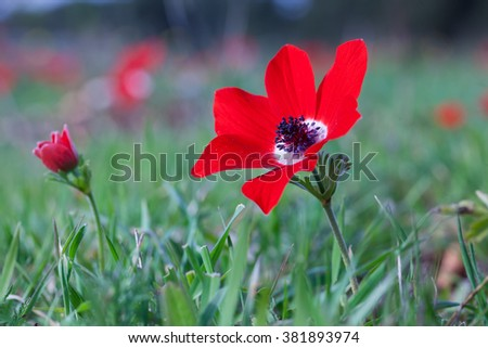 Scarlet poppies in the grass shot at noon - stock photo