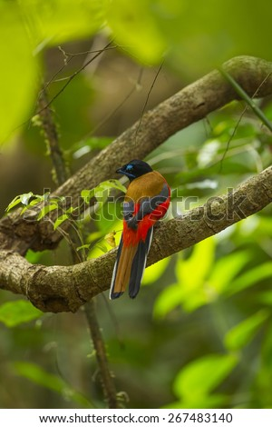 Scarlet-rumped trogon adult male shower in stream nature the halabala.