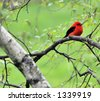 Scarlet Tanager in Portland Maine - stock photo