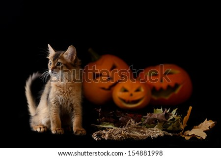 Scary halloween pumpkin jack-o-lantern and somali kitten on black background