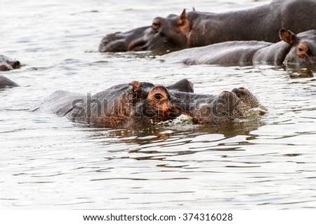 Scary Hippopotamus in the water, in the Moremi Game Reserve (Okavango River Delta), National Park, Botswana - stock photo