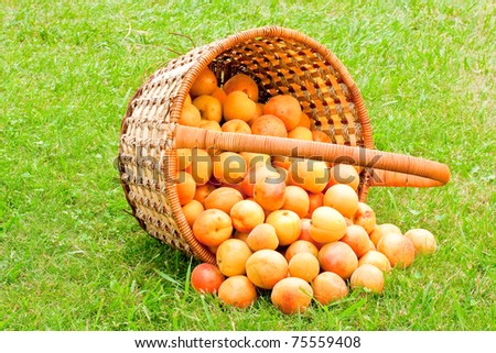 scattered on the grass, apricots