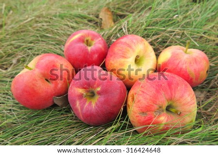 Scattering of the ripe cultivar apples on the lawn grass in the summer garden - stock photo