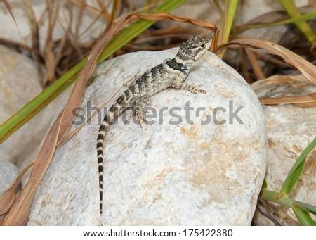 Sceloporus poinsettii, Crevice Spiny Lizard - stock photo