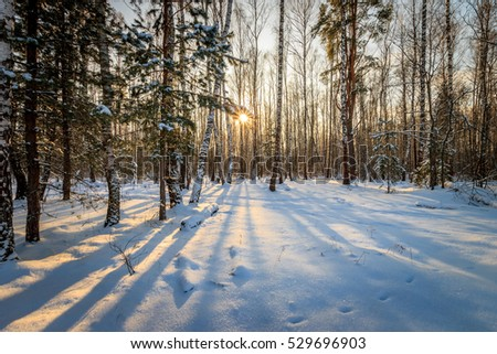 Scene of a beautiful sunset at birch forest with pines and spruces at winter season