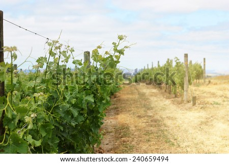 Scene of grape vineyard in Napa Valley - stock photo