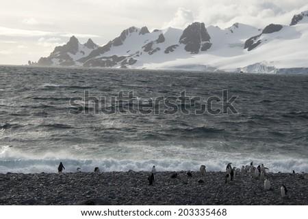 Scenery chinstrap penguins walking on snow, Half Moon Bay, Antarctica - stock photo