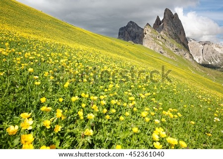 Scenery of green hills filled with lovely wild flowers (Globe-flower or Trollius europaeus) & magnificent Odle (Geisler) mountain peaks in background at Seceda, Val Gardena, South Tyrol, Italy Europe - stock photo