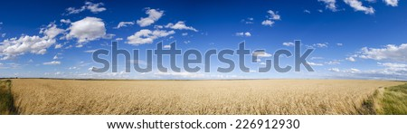 Scenic fields of golden summer wheat in Southern Alberta Canada - stock photo