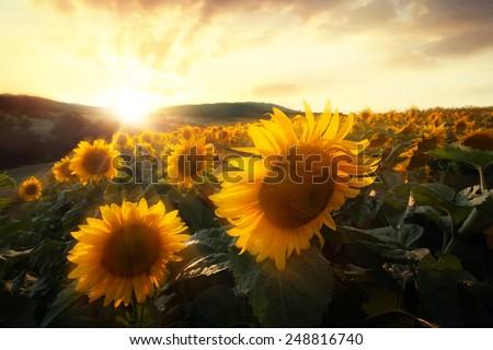 scenic HDR golden sunset over the sunflower fields  - stock photo