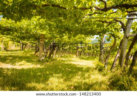 Scenic inside a old vineyard,Caldaro region,Italy. - stock photo