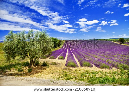 scenic landscapes of Provence with blooming lavande - stock photo