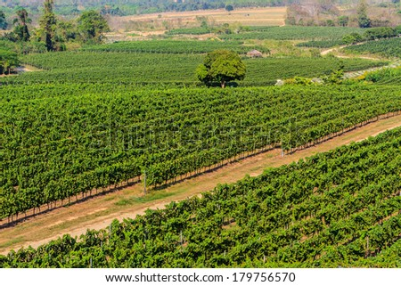 Scenic long rows of Vineyards landscape  in Thailand.