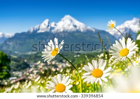 Scenic picture-postcard view of alpine landscape with beautiful flowers blooming in idyllic fields and snow-capped mountain tops in the background on a sunny day in bright sunlight in springtime - stock photo