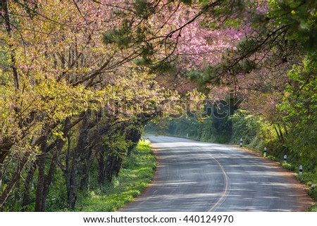 Scenic road on top of the mountain with beautiful cheery blossom along side in winter, Doi Ang Khang, Chiang Mai, Thailand  - stock photo