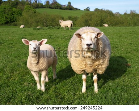 Scenic Springtime View of a Ewe and Lamp in a Lush Green Field of Grazing Sheep - stock photo