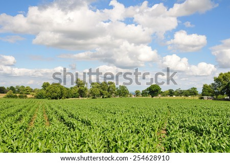 Scenic Summertime View of Lush Crops Growing on Farmland Crops with a Beautiful Blue Cloudy Sky Above - stock photo