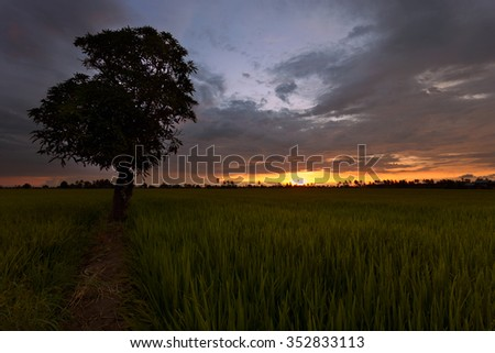 Scenic sunset view over paddy field