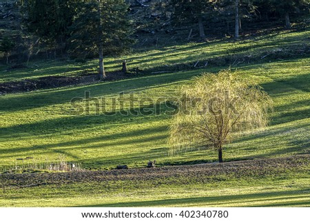 Scenic tree stands out in the middle of a green pasture on a sunny day in north Idaho. - stock photo