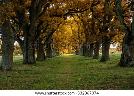 Scenic view of a beautiful oak alley in sunset - stock photo