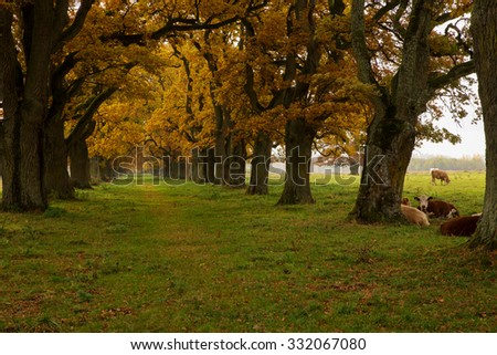Scenic view of a beautiful oak alley in sunset with cows - stock photo