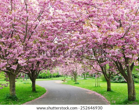 Scenic View of a Beautiful Winding Country Road Lined by Cherry Trees in Blossom - stock photo