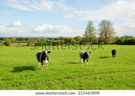 Scenic View of a Cattle in a Green Farmland Field - stock photo